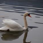 Po ránu byly na Oseckém rybníku labutě