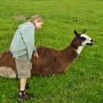 Lama - jedno ze zvířat na statku